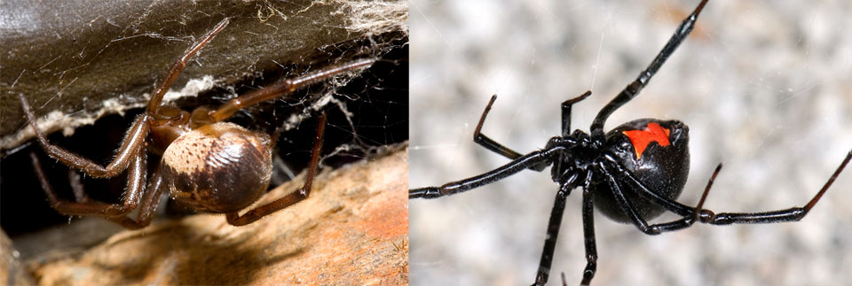 False widow and black widow spider comparison