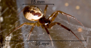 false-widow-identification