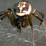 False Widow Spider (Steatoda nobilis)