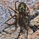 Lace weaver spider - Amaurobius-similis