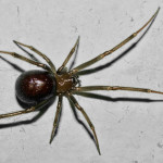 Steatoda grossa - the other false widow