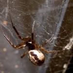 Steatoda nobilis - false widow