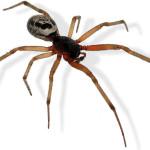 False widow spider - S. nobilis