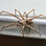 Tegenaria gigantea - UK biggest spider