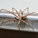 Tegenaria gigantea - UK biggest spider