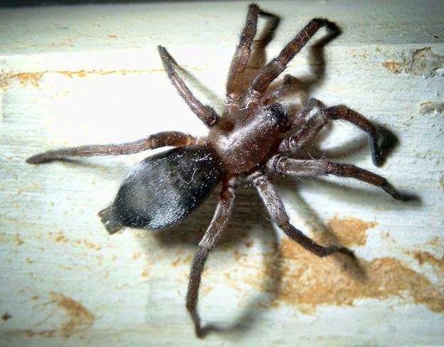 Mouse spider - Scotophaeus blackwalli