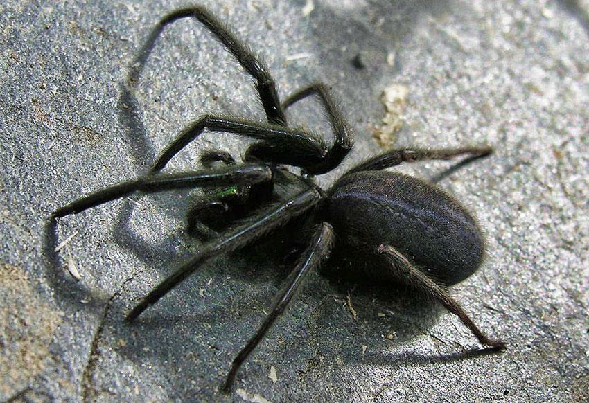 Web Spider Segestria Floina